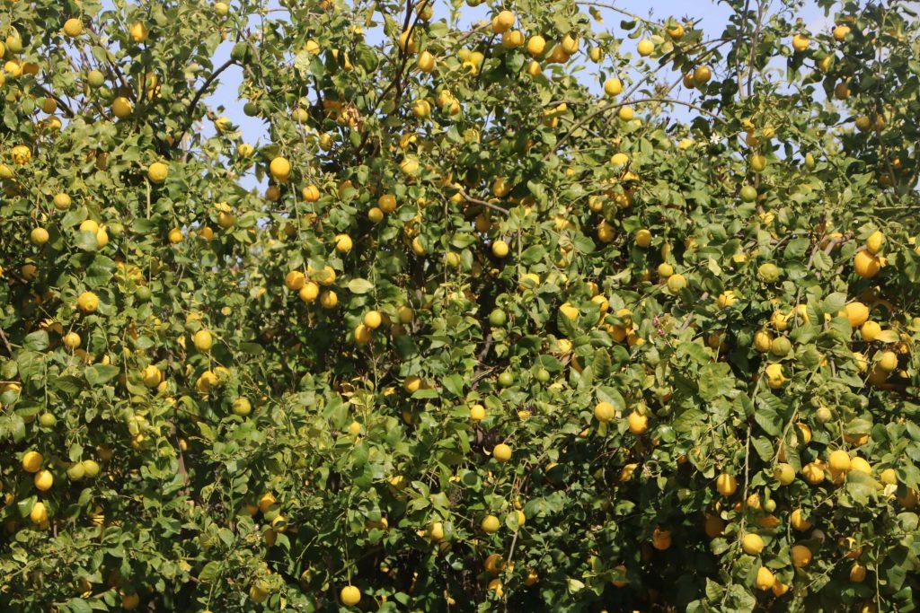 עץ לימונים, לימונה - השף רודד